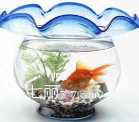 家中养鱼风水数量属相禁忌 一条一白水最旺财