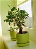 室内植物盆栽摆放有讲究 家居风水学教你如何摆放